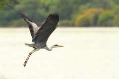Great heron flying over danube river Royalty Free Stock Photo