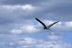 Great heron flying over lake. Stock Image