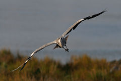 Heron flying toward the camera Royalty Free Stock Photos