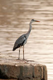 Great Heron Royalty Free Stock Images