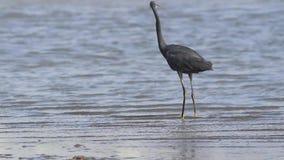 Great heron hunting stock footage