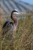The Great Heron Stock Images