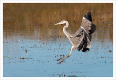 A great heron landing on the water Royalty Free Stock Photos