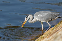 Great heron with a live fish in his beak Stock Images