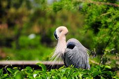 Great Heron Preening Royalty Free Stock Photography