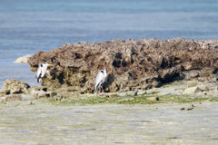 Great herons hiding behind the rocks from wind Royalty Free Stock Photos