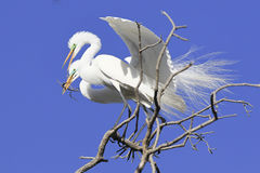 Great herons making nest Stock Photo