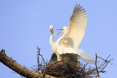 Great herons nesting in tree Stock Image