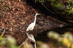 Great White Egret walking stock photos