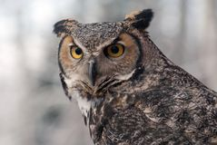 Great homed owl bubo virginianus royalty free stock photo