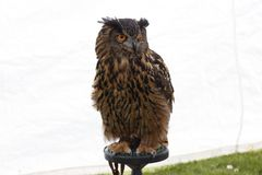 A stunning Great horned owl royalty free stock photo