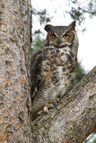 Great Honed Owl in Tree Royalty Free Stock Images