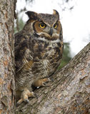 Great Honed Owl in Tree with Feathers Fluffed Out Royalty Free Stock Photography