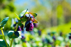 Great honeywort flower on sunny spring day in garden Royalty Free Stock Photo