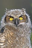 Great Horn Owlet Portrait Stock Image