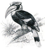 Great Hornbill Royalty Free Stock Photos