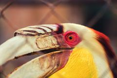 Great hornbill also known as the great Indian hornbill or great pied hornbill, is one of the larger members of the hornbill family. Portrait great hornbill also royalty free stock photos
