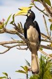 Great Hornbill Bird. Great Hornbill Standing on a branch, Malaysia Stock Photo