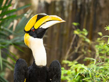 Great Hornbill bird Royalty Free Stock Photography