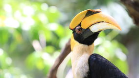 Great Hornbill bird, HD Clip. stock footage