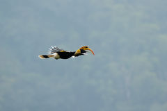 Great hornbill Buceros bicornis. Also known as the great Indian hornbill or great pied hornbill, is one of the larger members of the hornbill family. It is found Stock Image
