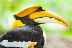Great hornbill (Buceros bicornis) Stock Photos
