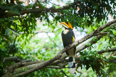 Great hornbill (Buceros bicornis) Royalty Free Stock Images