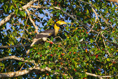 Great hornbill (Buceros bicornis) Royalty Free Stock Photos