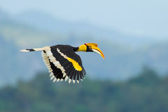 Great Hornbill. (Buceros bicornis) flying in nature at Khao Yai National Park,Thailand Royalty Free Stock Photos