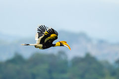 Great Hornbill (Buceros bicornis) Stock Image