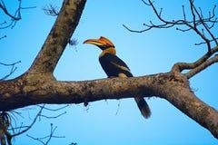 The great hornbill, Buceros bicornis stock image