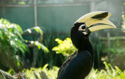 Great hornbill (buceros bicornis),Thailand Royalty Free Stock Photography