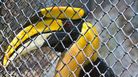 Great Hornbill in a cage Stock Photos