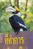 Great hornbill Stock Photos