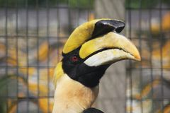 Great hornbill. Close up of great hornbill Royalty Free Stock Image