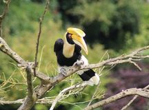 Great hornbill. Close up of great hornbill Royalty Free Stock Photography