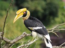 Great hornbill. Close up of great hornbill Royalty Free Stock Photo