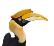 Great hornbill. Close up and isolate with white background , thailand Stock Photo