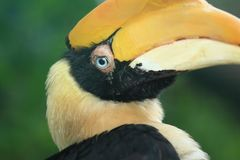 Great hornbill detail Stock Images