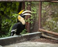 Great Hornbill great Indian hornbill, great pied hornbill, one of larger members of hornbill family, has long brightly colored. Down-curved bill and a casque royalty free stock photo
