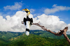 Great hornbill (Great indian hornbill, Great pied hornbill). Stand in tree branch Royalty Free Stock Photography