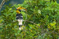 Great Hornbill holing branch of tree in forest Stock Photos