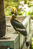 Great Hornbill great Indian hornbill, great pied hornbill, one of larger members of hornbill family, has long brightly colored. Down-curved bill and a casque stock images
