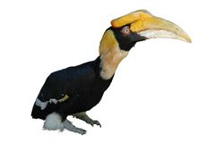 Great Hornbill Isolated on White Royalty Free Stock Photo