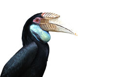 Great Hornbill, large bird Royalty Free Stock Photos