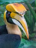 Great Hornbill. Photographed with serious camera in light with somebody but anytime in order to upload into Dreamstime`s stupid system Stock Photography