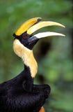 Great Hornbill, Sarawak Royalty Free Stock Photo