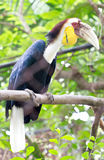 Great Hornbill. Stock Photography
