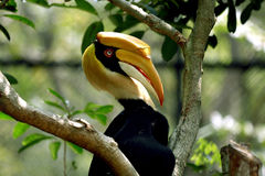 Great Hornbill. Sitting on a branch in the forest Stock Photo