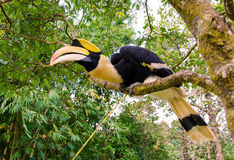 Great hornbill stand on the branch in forest Royalty Free Stock Photo